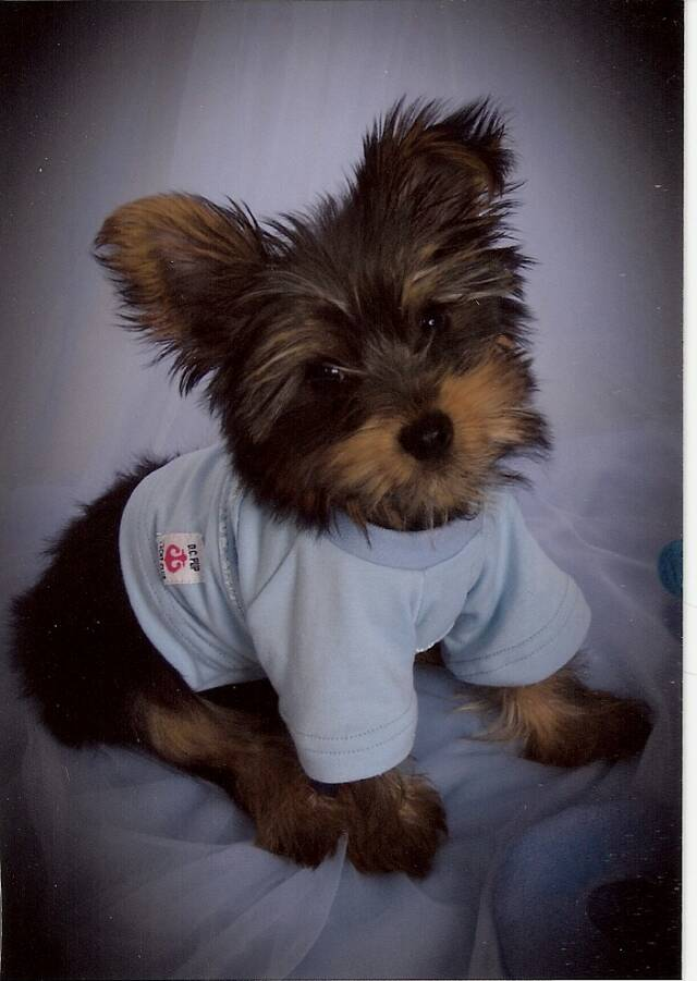 Yorkie Puppies for Sale | DR Yorkies | Arkansas