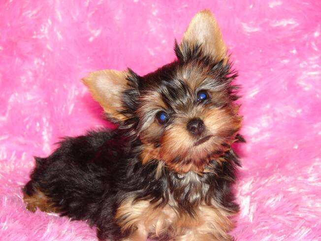 will be happy to discuss our Yorkies with you. You can reach me at: