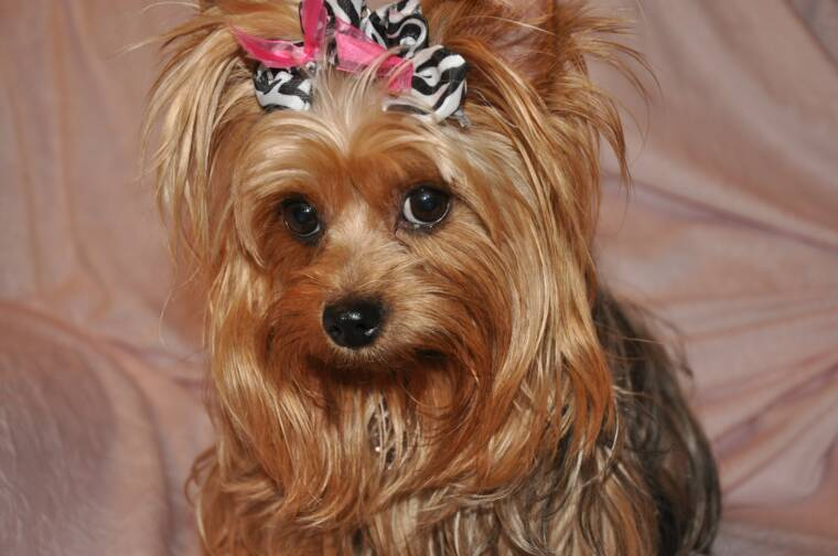 ... Pictures types of yorkie haircuts pictures step haircut styles for men
