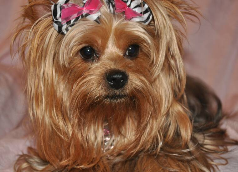 Cute Haircuts For Yorkie Females for Pinterest