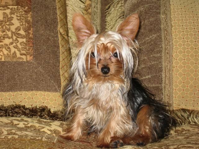 Dr Yorkies | Deidre Ridenhour | Yorkie Puppies | AKC Yorkies