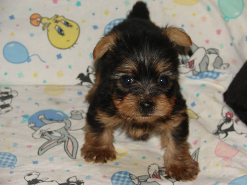 Pictures Of Yorkies Puppies. Yorkie Puppies For Free